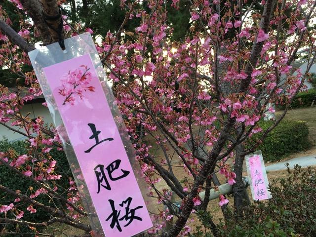土肥桜祭り