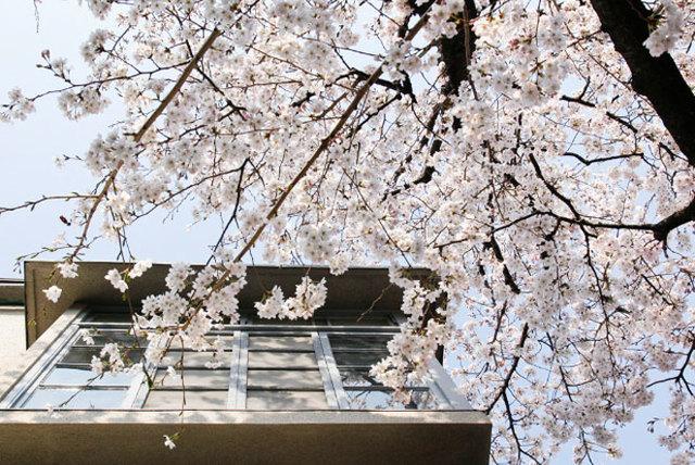 名前の由来である、庭の桜の古木